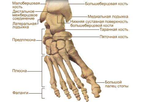Кости стопы